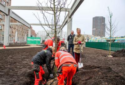 Plantning af træer i Grønttorvsparken den 15. november 2018